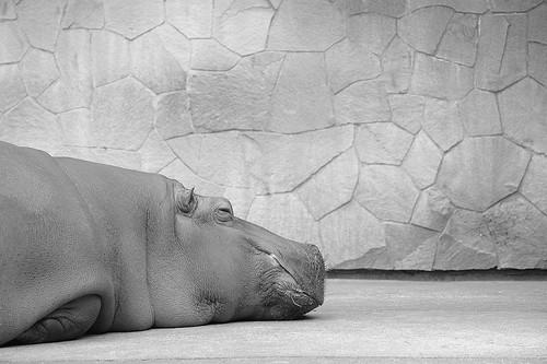 河馬,非當事河馬。圖片來源:BONGURI