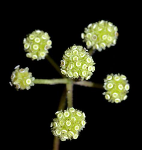 Stephania japonica Millaa Millaa Falls DSC_0394 (7)