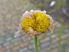 Ox-eye Daisy : Leucanthemum vulgaris