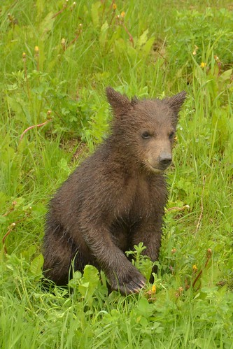 Grizzly Cub Tips for People in 2015