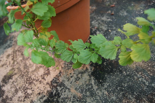 Natural hybrid of Pelargonium greytonense x Pelargonium hermannifolium, leaves