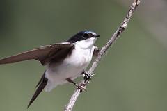 Swallows, Family: hiruninidae