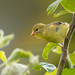 Female American Goldfinch (Spinus tristis) - Vancouver, BC by bcbirdergirl
