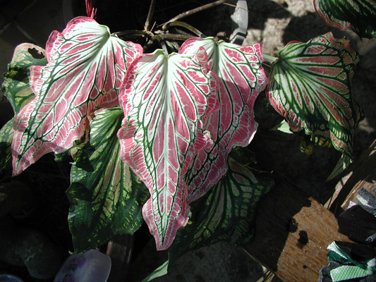 2004_0166_angels_wing_plant_resize