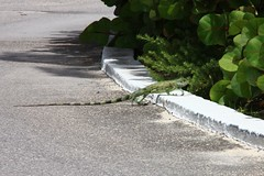 anguilla iguana