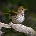 Ovenbird... Enjoy your weekend everybody! 8-) by swbshop1