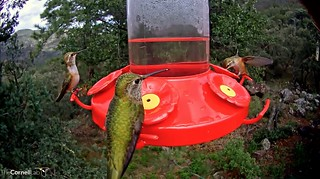 A Trio of Broad-tailed Hummingbirds