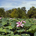 lotus covered pond
