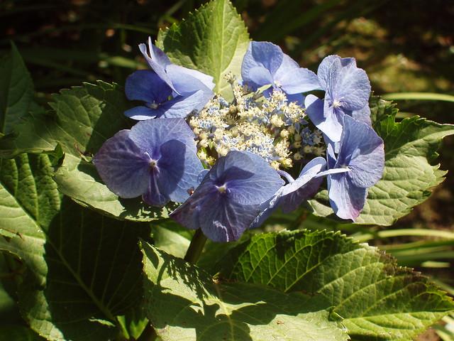 201008160070_blue-hydrangea