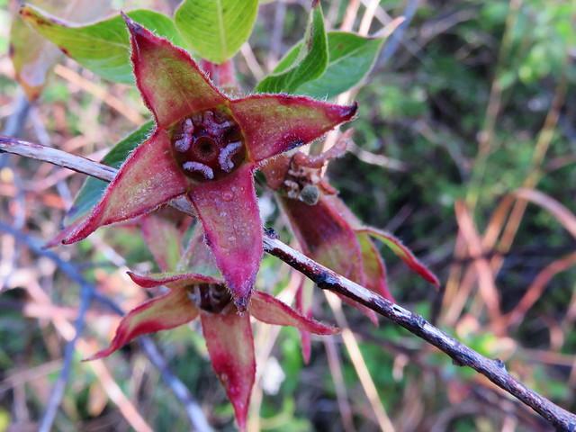 Flower calyx macro Canon SX 700 HS 20141216