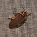 Small photo of Lampyridae