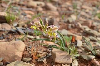 Gladiolus venustus  グラジオラス ベヌスタス