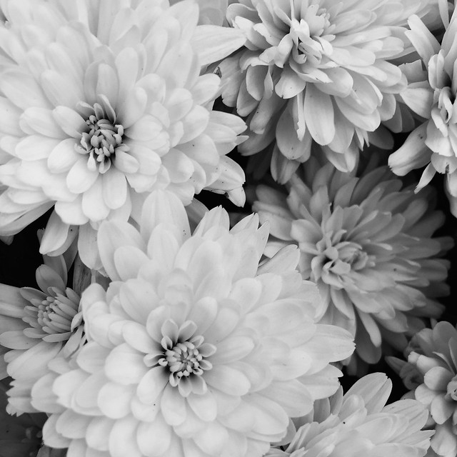 Mums (black and white)