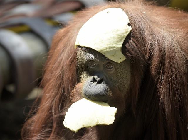Derechos del orangután