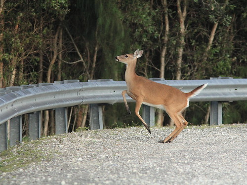 White-tailed doe jumping 03-20150123