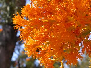 394 Christmas tree (Nuytsia floribunda), Christmas Tree Well, Darling Ranges, Western Australia