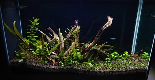 Green Neon Tetra fish Paracheirodon simulans for a fluval spec v