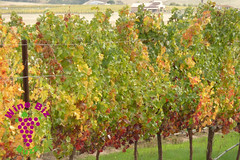 A bit earlier in the fall... Vines changing color in the Livermore Valley.
