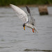 Moving Still !!! River Tern