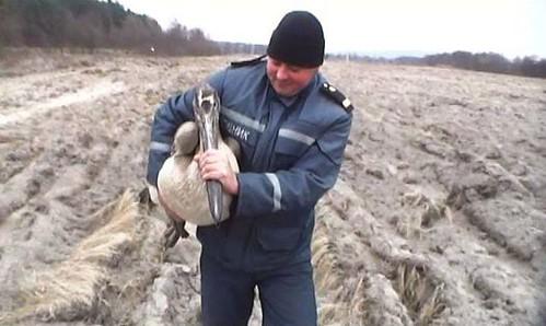 Виходжують заблукалих пеліканів