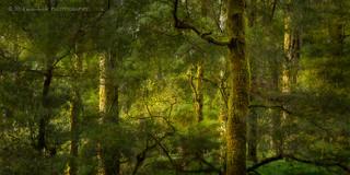 Whirinaki Forest
