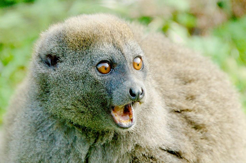 Alaotran Gentle Lemur (Hapalemur alaotrensis)_3