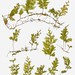 Small photo of Hymenophyllum affine from Fiji