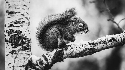 Squirrel (bw)