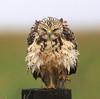 Swainson's Hawk - juvenile in the rain.
