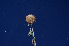 Sunflower in the Moonlight
