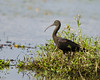#358 Glossy Ibis by bsmity13