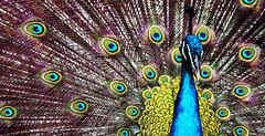 animal(1.0), peafowl(1.0), feather(1.0), organism(1.0), fauna(1.0), close-up(1.0), bird(1.0),