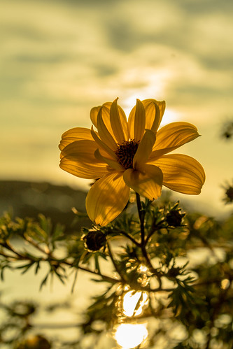sunset flower unitedstates maine barharbor