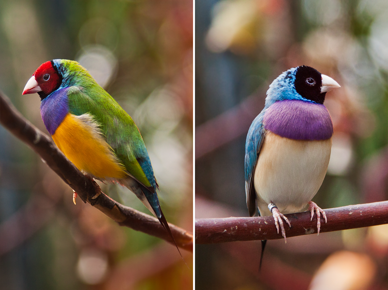 Rainbow Finches