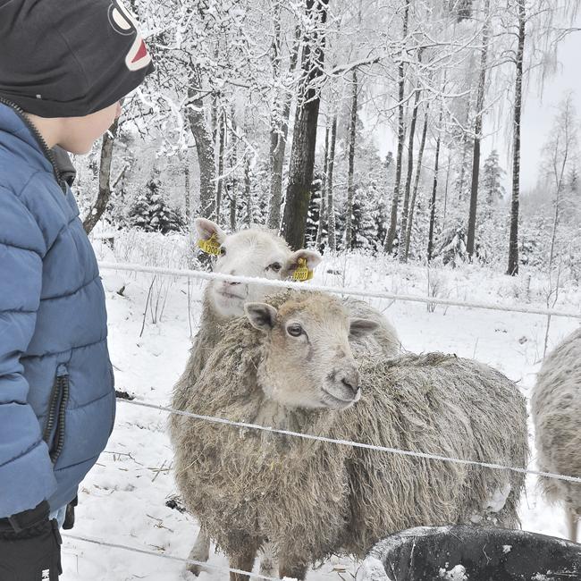 Nils och fåren