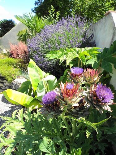 Globe artichoke (Cynara scolymus), lavender, heuchera etc.