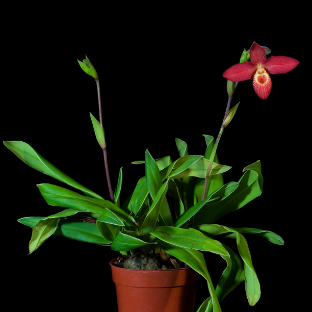 La ploïdie des orchidées, illustrée par Lise (Erythrone) 16141854836_9c376b4e4c_o