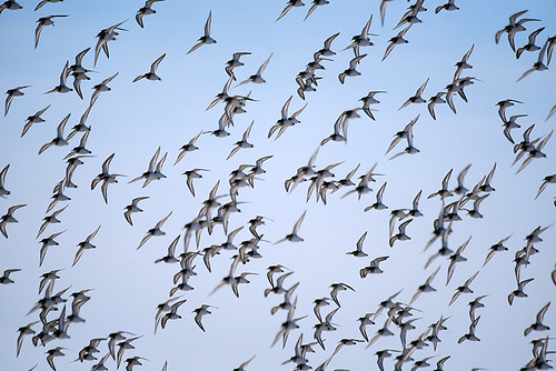 NY: Dunlin Flock Close-up at Beach