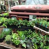 New weird and funky herbs in my nursery! #johnnyemerles #ditchthelawn #countryroadsantiques