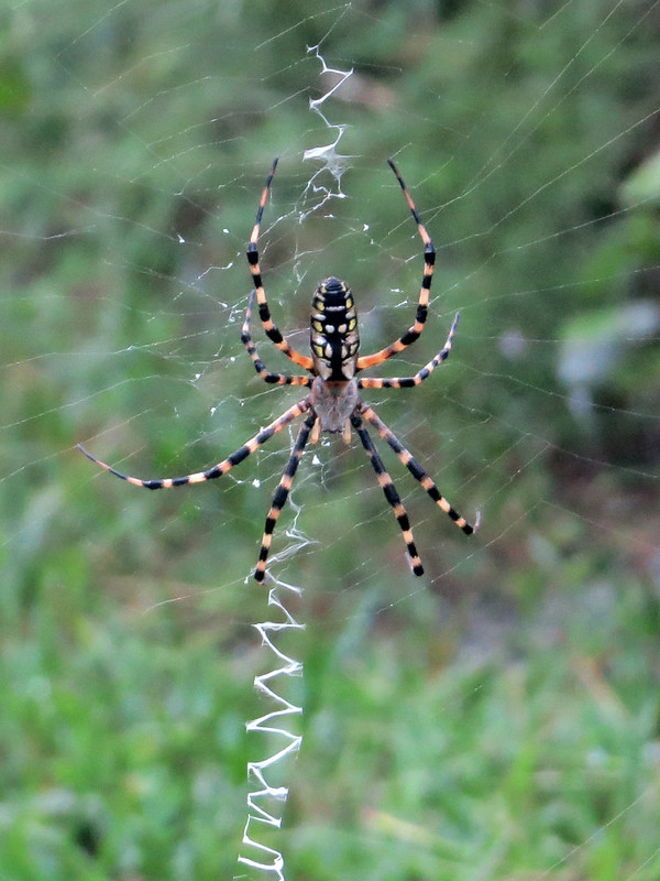 Black-and-yellow Argiope (Argiope sp)