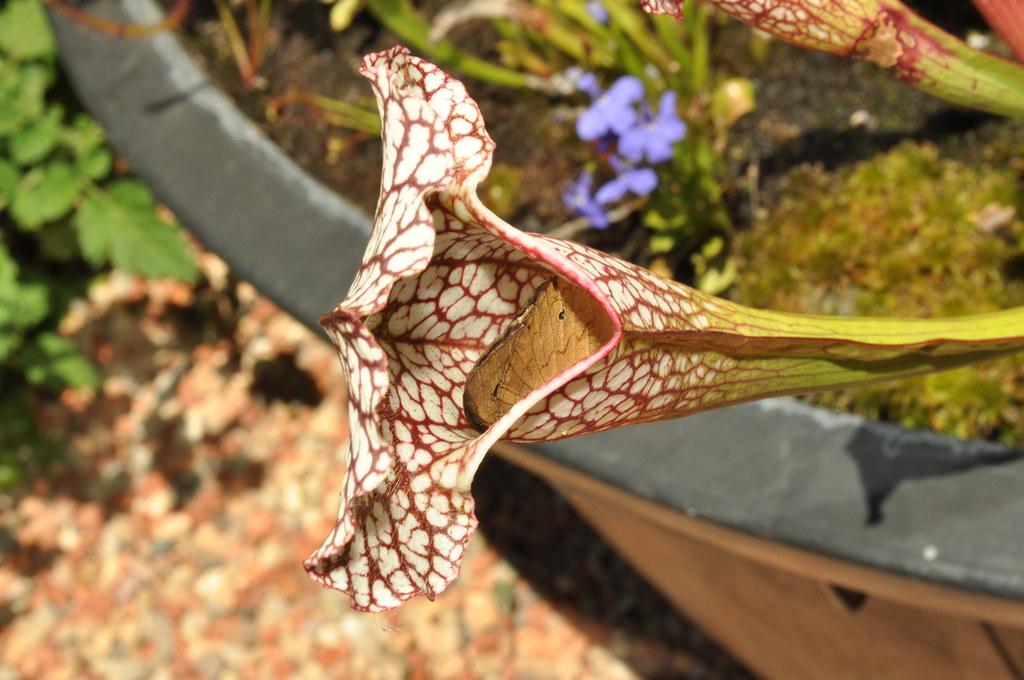 Sarracenia leucophylla x psittacina with Heteronympha merope