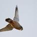 Common Kestrel  (Falco tinnunculus) Vörös vércse