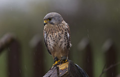 Kestrel in the rain ( English School of Falconry ).