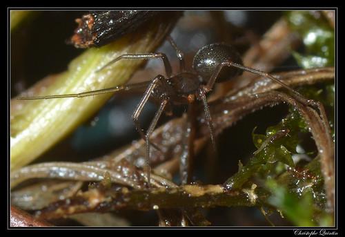 Linyphiidae femelle (Centromerus sp. ?)
