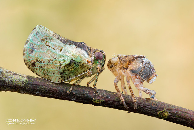 Planthopper facing moult (Fulgoridae) - DSC_1163