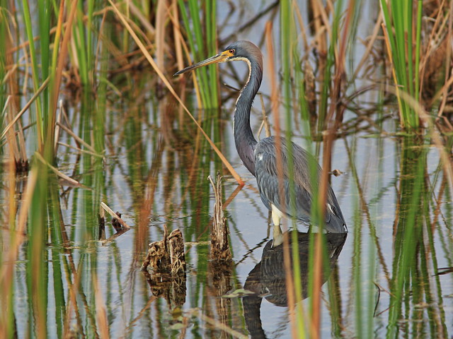 Tricolored Heron adult 2-20141118