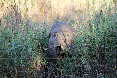 africa holiday elephant cute green grass canon fence southafrica shadows young september 300mm trunk wrinkles tallgrass krugernationalpark tusks mpumalanga glenda kruger electricfence 2014 knp hff youngelephant hotelgrounds throughthefence canon60d fencefriday happyfencefriday glendahall