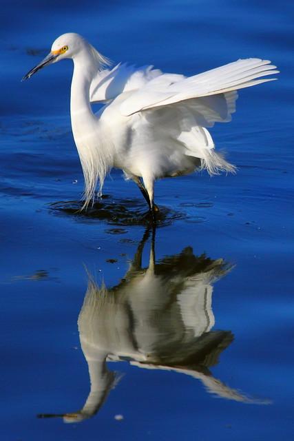 IMG_5715 Snowy Egret