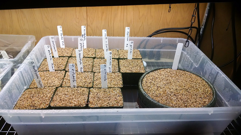 Gemmae sown and in the tray.