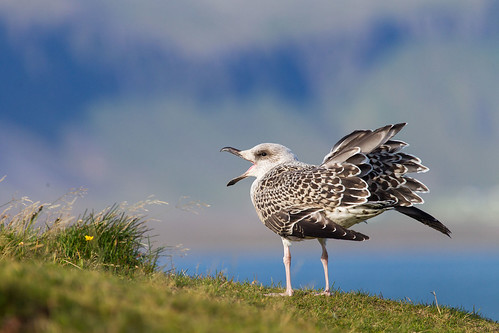 Great Black-backed Gull (juvenile) - Havstrut juvenil